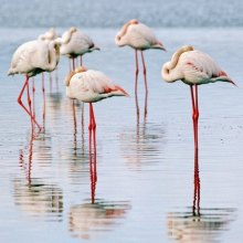 Environment - Migrating flamingos opt to stay in reviving Lake Urmia